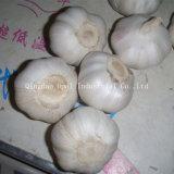 4,5 cm-5.5cm Spécification mixte normal frais Légumes/blanc pur de l'ail