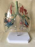 의학 교육 장비 인간적인 폐 해부학 모형