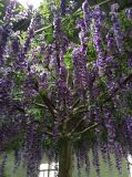 La alta calidad de la flor artificial del árbol Westeria Gu1469163281735