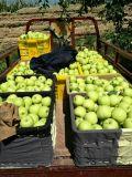 Goldener Apple /Fresh goldener Apple mit bester Qualität