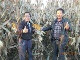 옥수수 설치에 Unigrow 토양 조절기
