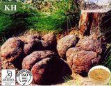 Alimentação de fábrica Poria Cocos Extraia Poria Cocos (Schw.) Wolf
