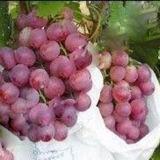 Bolsa de papel de protección galvanizada al por mayor de la fruta del alambre del papel de pulpa de la Todo-Madera de Vietnam para la uva