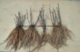 Fond de pivoine d'arbre/ampoule chinois de plante pivoine d'arbre