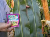 Estrume biológico de Unigrow na plantação do milho