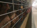 Cage de poulet de matériel agricole et le système d'alimentation