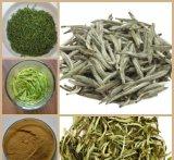 estratto bianco del tè 100%Nature con la catechina dei polifenoli EGCG del tè