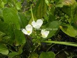 Fabrik natürliches Rhizoma Alismatis/Alisma Orientalis Auszug-Puder