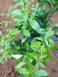밀감속에 의하여 취급되는 Unigrow 토양 조절기