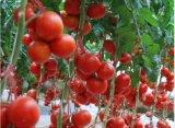 Tomates fraîches Coller dans des aliments en conserve de la Chine