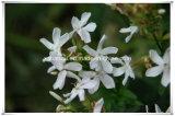 Saponaria natural Offieinalis L pó do Saponaria Officinalis/do extrato do 10:1