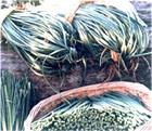 Gefrorene Knoblauch-Sprösslinge