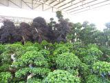 Alberi dei bonsai di Microcarpua del Ficus