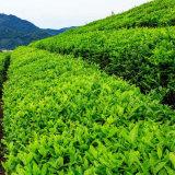 De Groene Thee van China voor de Wereld