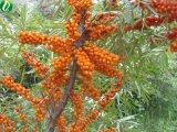 Olio di semi di Seabuckthorn per alimento sano