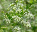 最もよい品質のセロリーの種子のエキスのアピゲニン