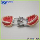 Modèle normal de dents de Typdont pour l'aboutement