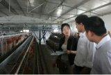 Cage chaude de grilleur de matériel de volaille de vente avec des buveurs de câbles d'alimentation de volaille de qualité