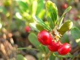 Estratto Arbutin 99% del foglio dell'uva orsina