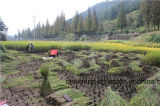 Pinsel-Erntemaschine für Reis