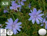 Extrait naturel de chicorée de haute qualité: Inuline 90% -95%