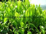 Зеленый цвет сильного влияния естественный травяной Slimming зеленый чай