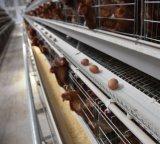 Um tipo de gaiola de camada de gaiola de frango com sistema de Bebedouro Automático