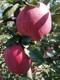 Estrella Roja de buena calidad de Apple Apple/FUJI para exportar