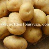 La nouvelle récolte de pommes de terre fraîches avec une bonne qualité