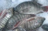 Tilapia Frozen Gutted e Scaled