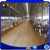 製造された鋼鉄建物のアニマル・ファームは毎日牛農場のために取除いた