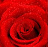 Impresión hecha a mano de la pared de la flor roja de Rose para Carfts
