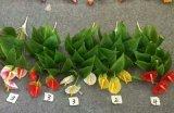 Alta qualità dei fiori artificiali di Anthirium Gu14958517609061