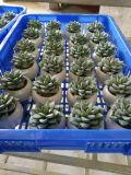 Les meilleures centrales artificielles de vente des Succulents Gu1470553592449