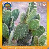Estratto del cactus dell'opunzia con il glucoside del cactus
