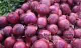 L'exportation d'oignon rouge