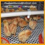 Il pollame automatico del pollo mette in gabbia la strumentazione della gabbia per la pollastra ed il piccolo pollo (un tipo blocco per grafici)
