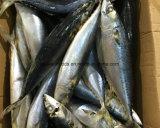 Bevroren een Vreedzame Makreel van de Rang voor het Inblikken