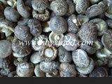 Legumbres setas de la flor de Té saludable Natural