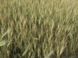 Fertilizzante organico microbico di Unigrow sulla piantatura del frumento