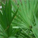 Extrait de palmetto de pureté pour aider à maintenir la santé de la prostate