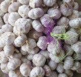 Fornitore dorato di nuovo raccolto dell'aglio bianco fresco