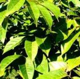 Naturel extrait de feuilles d'olive (Olea europaea) 12%-50% de l'oleuropéine