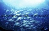 Huile de poisson raffinée certifiée GMP, huile de foie de morue raffinée. ODM de pétrole, alimentation santé