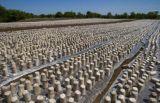 El cultivo de setas el esterilizador de alta calidad