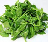 China Andrographolide 12%-98% 5508-58-7 Andrographis Paniculata extraia