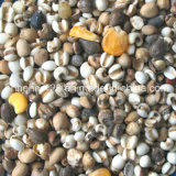 Trieuse de couleur de CCD de véritable couleur pour des graines d'haricots des graines