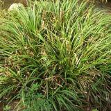 Natural de buena calidad Acorus Gramineus Oil Aceite Calamus