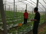 Tomate plantant avec du bio engrais organique d'Unigrow