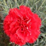 Bio fertilizante orgânico de Unigrow para a plantação de Rosa